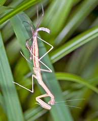 Mantid ephemera (aeschylus18917) Tags: macro nature japan mantis insect tokyo nikon ephemera   molt nerima mantid molting 105mm nerimaku 105mmf28    105mmf28gvrmicro d700 nikkor105mmf28gvrmicro  shakujipark  nikond700 danielruyle aeschylus18917 danruyle druyle   shakujiiken