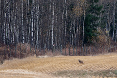 Coyote and forest (Cats 99) Tags: coyote field october running alberta 2012