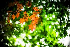Be-leaves (moaan) Tags: life leica autumn fall digital 50mm hokkaido glow dof bokeh f10 september momiji japanesemaple utata  glowing noctilux 2012 m9 autumnaltints inlife leicam9 wakotospa leicanoctilux650mmf10