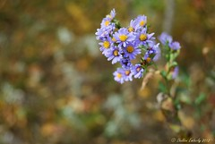 Wild Asters (Sheldon Emberly) Tags: autumn nature naturallight pictureperfect sandhills portagelaprairie wildasters nikond3000