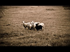 Black sheep (PattyK.) Tags: animals photography nikon october europa europe sheep balkans whereilive europeanunion myphotos blacksheep 2012 ioannina giannina flockofsheep myeverydaylife giannena epirus ipiros      jannina jannena        nikond3100 picmonkey