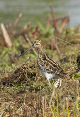 _MG_0009 Common Snipe (Gallinago gallinago), Brandon Marsh, Warwickshire 14Oct12 (Lathers) Tags: brandon common warwickshire snipe gallinago brandonmarsh canon7d october2012 canonef500f4lisusm