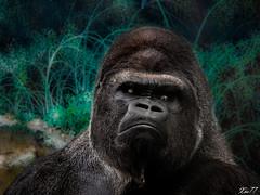 gorille (xbillard) Tags: zoo fujifilm beauval hs10