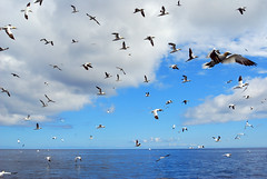 Gli Altri (Wrinzo) Tags: ocean sea sky bird birds clouds scotland shetland seabird seabirds gannet oceano sule sula uccello scozia morusbassanus shetlandislands sulabassana isoleshetland