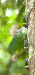 Lantern Bug (Pyrops pyrorhynchus) - DSC_4415 (nickybay) Tags: macro peninsularmalaysia lanternbug lanternfly pyrops laternaria pyrorhyncha pyrorhynchus