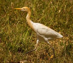 Cattle Egret (James Niland) Tags: james cattle pentax sigma egret kx 70300 niland jamesniland