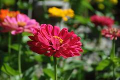 Zinnia DOF (AmyKClark!) Tags: flowers garden colorful dof zinnia storybookwinner