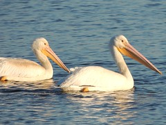 White Pelicans at the Upper Mississippi River National Wildlife and Fish Refuge (Chicago Man) Tags: usa white fish bird pelicans water animal rural river mississippi illinois wildlife aves scene pelican iowa upper national ave mississippiriver whitepelican refuge iwanski rivernational uppermississippirivernationalwildlifeandfishrefuge johnwiwanski