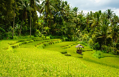 Walking the rice terraces (Fredde Nilsson) Tags: bali tree field indonesia sony palm rise nex munduk