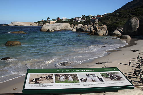 African Penguins-Boulders Beach-9