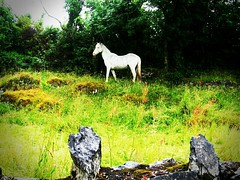White horse/ Ireland (Kitanakely) Tags: travel ireland vacation nature animal photography random luckyme streamzoo