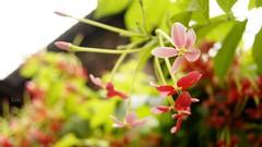 新濱老街花開 The Blossoms of Hamasen (布托) Tags: flower green nature blossom taiwan kaohsiung 花 台灣 creeper 高雄 takao tra rangoon 老街 使君子 哈瑪星 街屋 hamasen 新濱老街 打狗文史再興會社