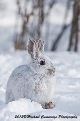 Snow Shoe Hare (Michael Cummings) Tags: michaelcummings wildlifephotographer snowshoehare wildlife wildlifephotography wildlifepics wildlifephotograph animalphotography animalpics animalphotograph animalpicture nature naturephotography naturepics naturephotograph snowshoeharepicture snowshoeharepictures snowshoeharepics snowshoeharephotography ottawa ontario canada images wildlifeimages natureimages animalimages rabbit