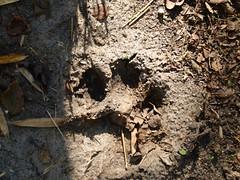 Tiger Pug Mark (praja38) Tags: india nature mammal wildlife tiger bigcat pawprint tamilnadu westernghats masinagudi bengaltiger pugmark mudumalainationalpark tigerpugmark