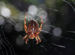 Spider Lighting (AnyMotion) Tags: light macro halloween nature colors animals garden licht tiere spider colours bokeh ngc npc spinne makro garten 2012 araneusdiadematus farben gartenkreuzspinne europeangardenspider makroaufnahmen crossspider anymotion diademspider crossorbweaver canoneos5dmarkii 5d2
