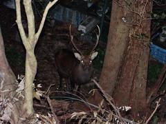 DSC03122 (muzina_shanghai) Tags: deer nippon sika minoh  cervus