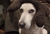 A Moose? (Robert Drozda) Tags: alaska fairbanks sleddog musky huskymix huskador drozda labrusky ldlportraits bigbrownbone huskadore hloweeningthere
