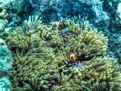 clownies @ mantabuan (Syahrel Azha Hashim) Tags: travel detail colorful underwater dof nemo naturallight olympus snorkeling clownfish malaysia handheld shallow reef sabah hdr corals freedive mantabuanisland syahrel