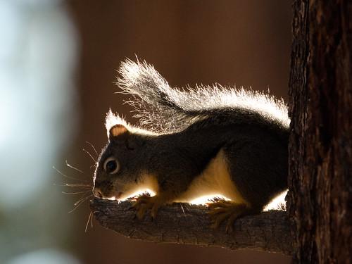 backlit red squirrel [DSC_5773]