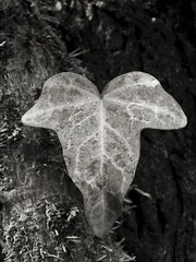 Ivy leaf (COLORSEPPIA) Tags: blackandwhite detail nature closeup leaf creative ivy biancoenero creativo