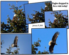 2013-01-17 Eagles dropped in for a visit today! (Mary Wardell) Tags: birds collage oregon canon portland power northwest neighborhood powerful eagles 60d ourdailychallenge