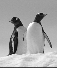 which way now? (stephen mawby) Tags: penguin bay charlotte tail ak antarctica brush peninsula antarctic brushtail adelie antarcticpeninsula charlottebay leboreal