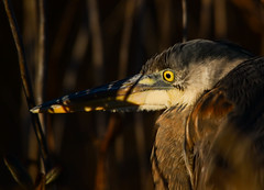 Getting Closer {EXPLORE} (rickgetsemail) Tags: bird sunrise feathers delaware greatblueheron bombayhooknwr d3100 outdoorsdelmarva