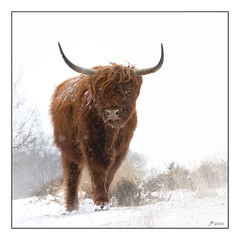 Bizon in snow   (Mookerheide) (Ida J.M.) Tags: winter portrait white snow cold holland color colour eye ice nature netherlands grass animal animals landscape nose snowflakes frozen frost bevroren sneeuw nederland freezing horns scottish highland freeze curious wit rund mook bruin groesbeek winterbeauty sneeuwvlokken vorst mookerheide schotsehooglander hooglander scottishhighlandcow vacht horens grazer 2013 runderen grazers canon60d ef70200mmf4lisusm rundvee