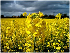 Brassica napus ... (* Janets Photos *) Tags: uk flowers yellow fields crops rapeseed eastyorkshire masterphotos takenwithlove mindigtopponalwaysontop lovelyflickr thegoldenachievement goldenachievement