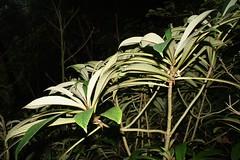 04902 002-01-1303 Cyrtandra degenerans.  Hawai`i, O`ahu, Ko`olau Mts., Kahana Valley, ditch trail.  Plant 1. (jqcl) Tags: plants plant hawaii oahu gesneriaceae nativeplants nativeplant hawaiianislands koolaumountains cyrtandra nativehawaiianplant nativehawaiianplants haiwale cyrtandradegenerans lumpedintocyrtandrahawaiensisinthemanual