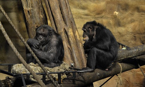 Chimpanzees eating at edinburgh zoo