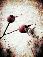 like cherries (cuginAle) Tags: cherries rosa inverno rosso ciliegie flickrandroidapp:filter=rome