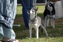 Tipa (Alexandra Kimbrough) Tags: show dog toy miniature husky pentax huskies front event kai klee alaskan ukc conformation akk