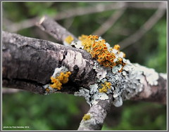 something growing here... (pvh photo) Tags: tree branch fungus lichen