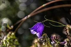 RUGIADA (Lace1952) Tags: svizzera passosempione bocchettadaurona montagne alpi fiore rugiada campanula sfocato bokeh alba nikond7100 nikkor18300vr