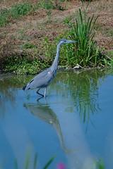 SAM_0773 (Duncan.B) Tags: wwtbarnes wildlife london barnes samsungnx samsung nx10 heron greyheron