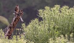 Karearea 72 (Black Stallion Photography) Tags: female karearea newzealand falcon bird wildlife prey brown branch yellow black stallion photography igallopfree