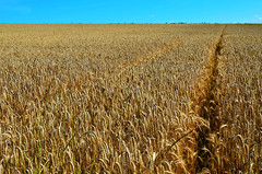 Minimalism wheat field (FailureCriteria) Tags: nikon d5100 minimalism wheat field land