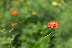 DSC02164 (Zengame) Tags: hamarikyu hamarikyugardens rx rx1 rx1r rx1rm2 rx1rmark2 sony zeiss cc cosmos creativecommons flower japan tokyo           jp
