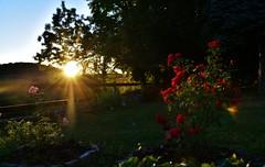 ~~Les rosiers flamboyants...~~ (Jolisa) Tags: coucherdesoleil atardecer sunset rosiers soir evening glay soleil raies rayons aot2016 jardin barrires