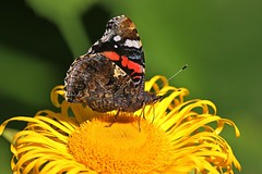 Red Admiral (Sybalan,) Tags: benmoregardens argyll argyllandbute nature outdoors insects butterfly darter red flowers floral flight summer sunny httpsybalanphotographyweeblycom yellow