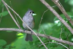 Tufted Titmouse (Rutland County Audubon) Tags: tuftedtitmouse pinehillpark rutlandcountyaudubon rutlandcounty