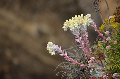Big Sur (Williams5603) Tags: botany cliff carmelbythesea carmel pointlobos bigsur