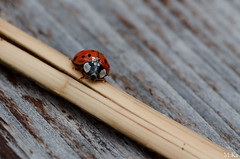 Belfort_0716-41-2 (Mich.Ka) Tags: animal coccinelle insecte ladybug macro macrophotographie nature