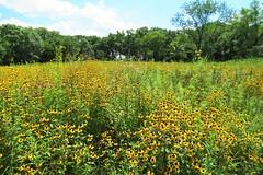 Golden Prairie (Patricia Henschen) Tags: cantigny robertmccormickestate wheatonillinois wheaton illinois garden park flowers tallgrassprairie prairie blackeyedsusan
