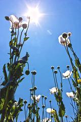 Adormidera (adrian_0ff) Tags: flower opium adormidera amapola green field flowers flores sun sunny summer sky blue cielo