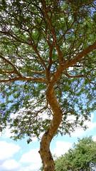 DSCF6894 (shahmurai) Tags: fujifilmxt1 mithi nagarparkar thar sindh pakistan tree lonelytree
