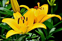 yellow from the other side (doods-on-and-off) Tags: lily lilium oriental garden leaves yellow green petals stamen pestil
