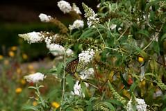 Monarch Butterfly (Adventurer Dustin Holmes) Tags: 2016 nathanaelgreenepark closememorialpark flowers monarchbutterfly butterfly nature monarch whiteflower flowerswhiteflowers flower missouri