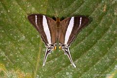 Marpesia orsilochus (Almir Cndido de Almeida) Tags: borboleta butterfly marpesia orsilochus mato grosso mt amazonia amazon rain forest lepidoptera inseto daggerwing
